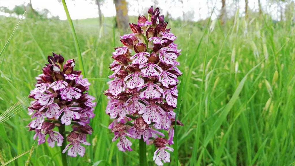 Parchi e biodiversità Orchidea Parco della Chiusa Casalecchio di Reno