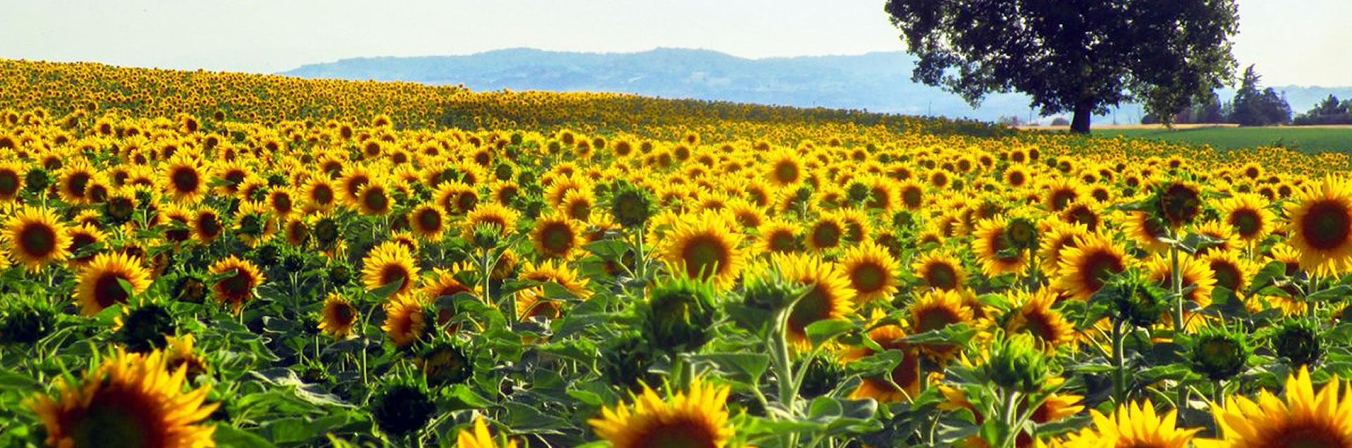 Paesaggio girasoli Valsamoggia